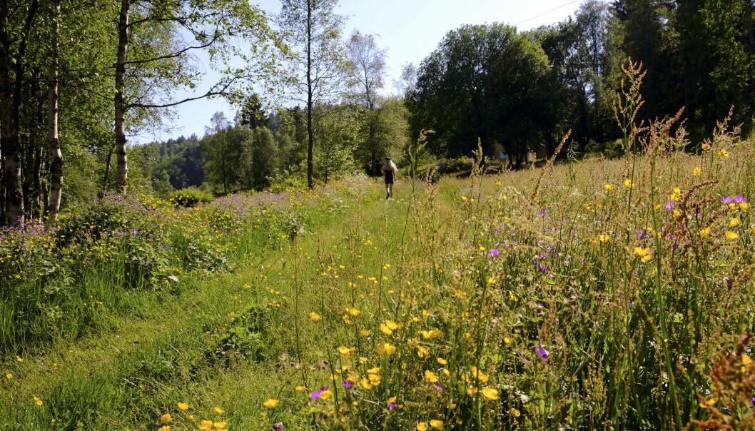 For bier og humler er blomsterenger et fantastisk fruktfat. Denne enga er i Hægebostad kommune i Vest-Agder.