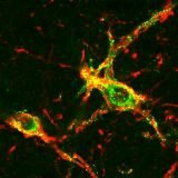 """Hannrotters utløsning kontrolleres av disse nervecellene i ryggmargen. Foto: Lique Coolen, University of Cincinnati"""