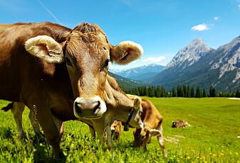 Bakterier i magen til kua kan spise plast