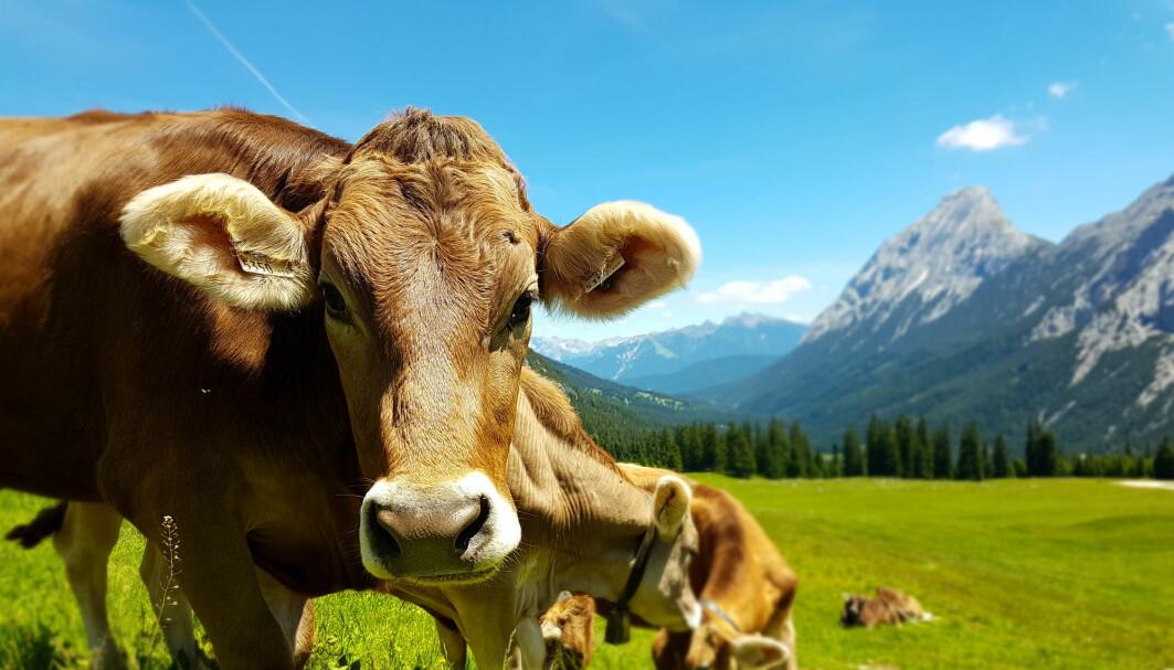 Kyr som beiter i fjellene sørover i Europa, spiser blant annet bær med stoffer som ligner litt på plast. Bakteriene kom fra magen til en ung okse som hadde en slik diett.