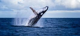 Hvalsang overrasker: Knølhvalene synger også i Norge