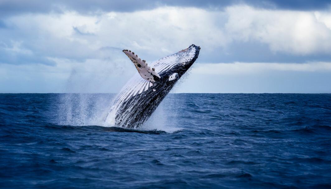 Knølhvalen er kjent for spektakulære hopp og sin komplekse sang.