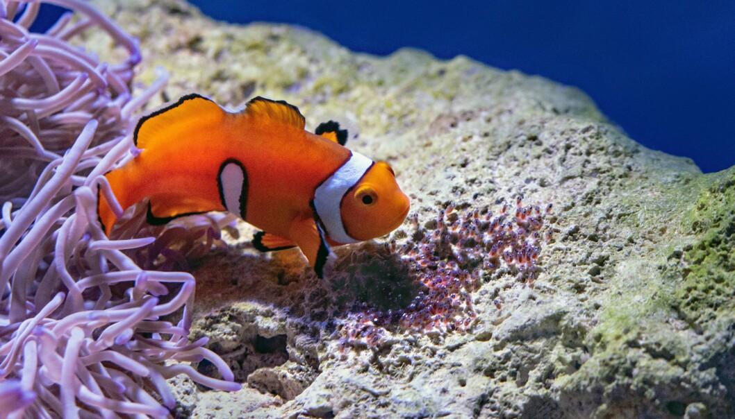 En klovnefisk passer på eggene sine. Snart klekkes noen super-raske små fiskelarver.