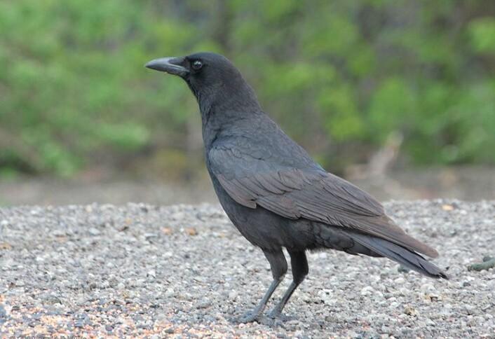 Det er denne typen kråke, Corvus brachyrhynchos, eller vill amerikansk kråke, som la de maskekledde forskerne for hat. (Foto: Wikimedia Commons)