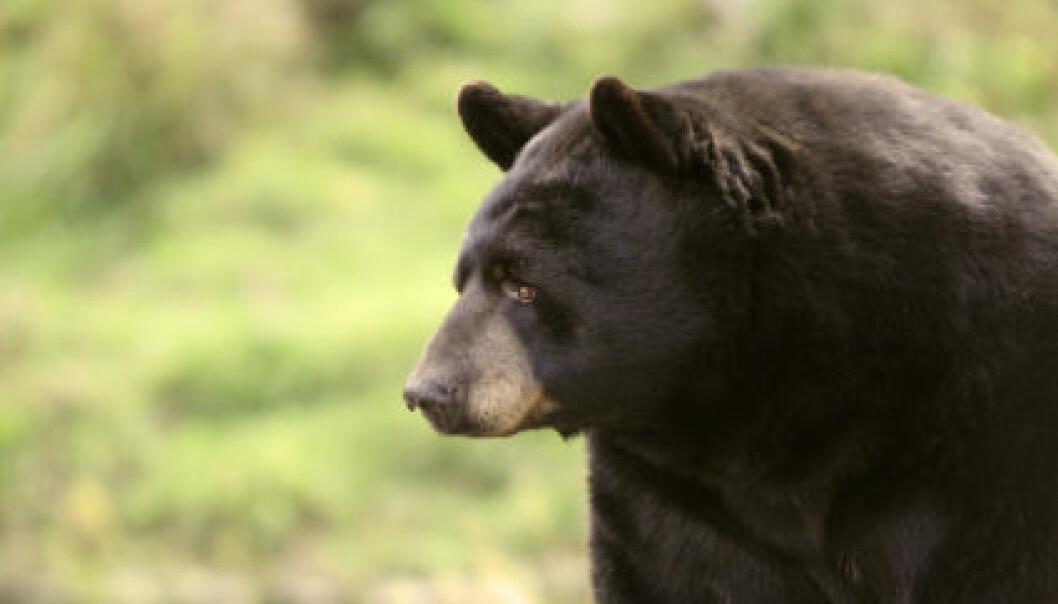 Bjørnene er temmelig trøtte når de våkner etter dvalen og bruker tre uker på å komme seg. (Foto: iStockphoto)