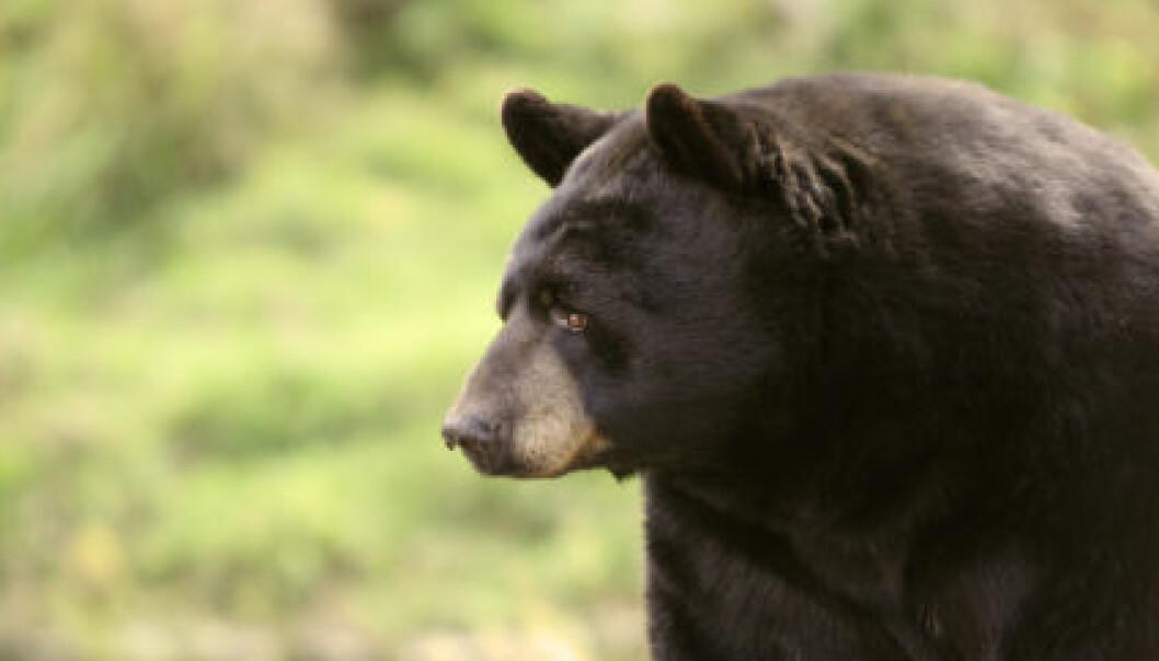 Bjørnen sover, men ikke som andre dyr