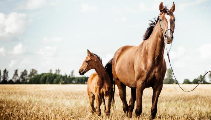 Hestene som lever i dag er i slekt med hestedyrene som døde ut for mange, mange millioner år siden.