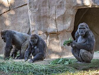 Nå er det gorillaenes tur til å bli vaksinert
