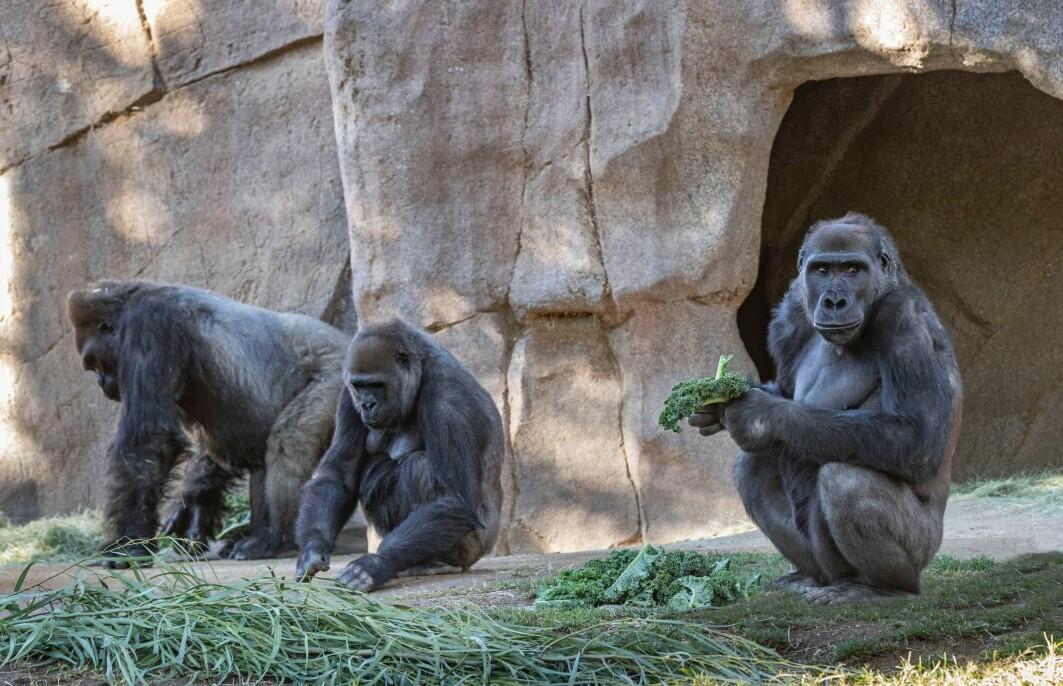 Åtte gorillaer i dyreparken i San Diego ble smittet med koronavirus. Nå har flere gorillaer i USA fått vaksine.