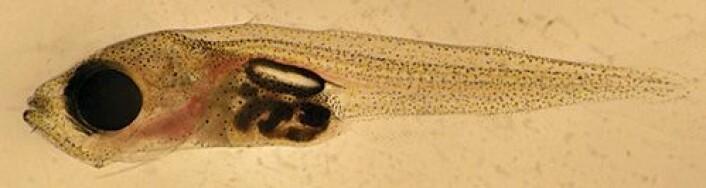Denne torskelarven er nesten to måneder gammel. (Foto: Akvaplan-niva)