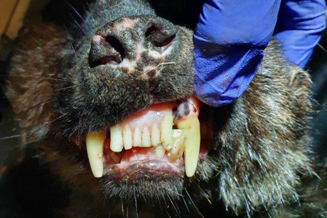 Det var tydelig tannslitasje hos den eldste jerven som ble undersøkt.