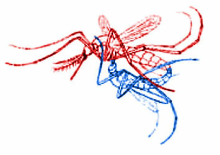"""""""Mygg parer seg i flukt. Hannen (blå) underst, hunnen (rød) over. (Figur: Bearbeidet fra Wikipedia)"""""""