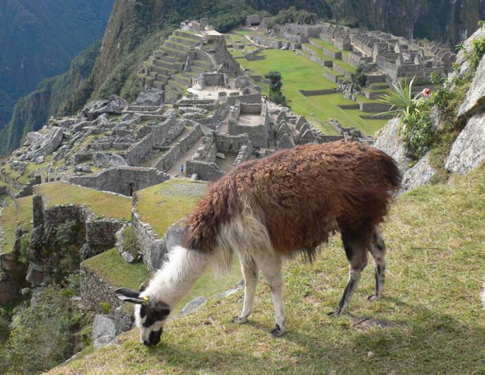Lamaen var viktig for inkaenes sivilisasjon. Bildet viser beitende lama foran inkabyen Macchu Picchu. (Foto: Alex Cheptsow-Lusty)