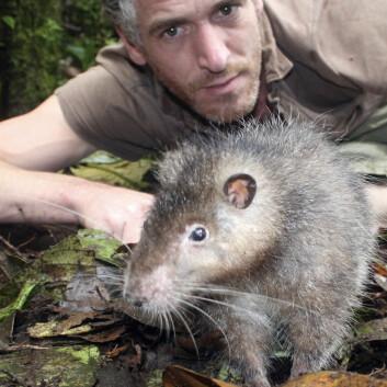 Her ses  den såkalte Bosavi woolly rat sammen med BBCs kameramann Gordon Buchanan.  (Foto: BBC, Jonny Keeling)