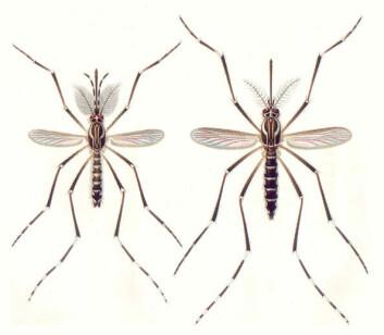 """""""Hannmygg (til venstre) og hunnmygg av arten Aedes aegypti . (Illustrasjon: Wikipedia)"""""""