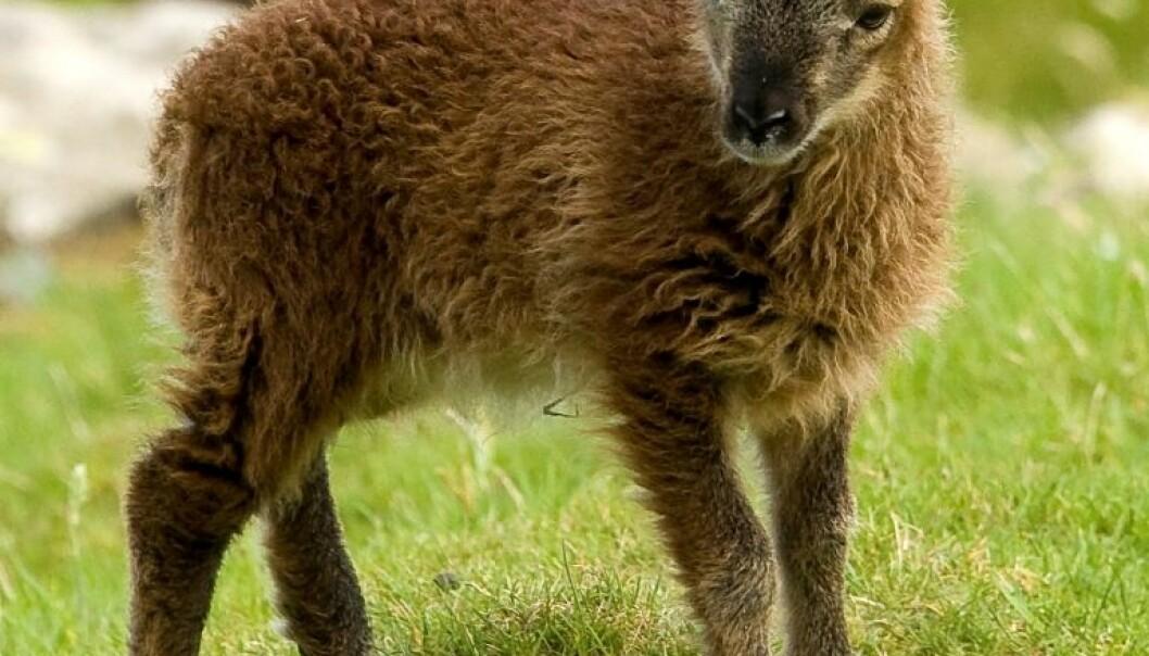 Soay-lam fra en flokk på øya Hirta utenfor kysten av Skottland. Et forskerteam fra Princeton University har studert sauene og funnet at et sterkt immunforsvar hjelper dem til å leve lenge, men på bekostning av fruktbarhet. (Foto: Arpat Ozgul/ University of Edinburgh)