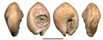 """""""Det perforerte skjellet som ble funnet på slutten av 1940-tallet i Oued Djebbana, Algerie. Nå har forskere studert skjellet nærmere. Målestokk = 1 cm."""""""