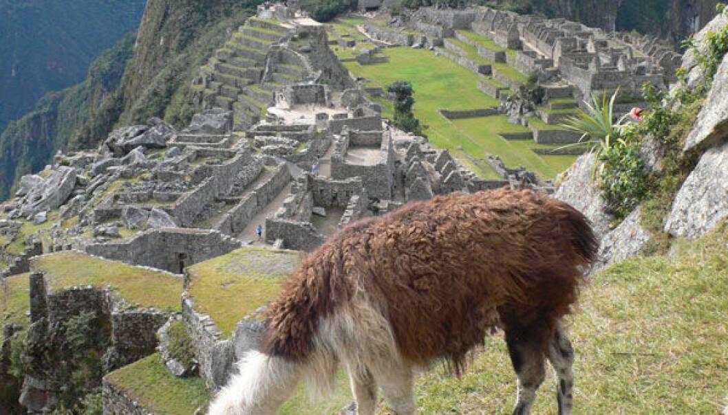 Lama foran inkabyen Macchu Picchu. (Foto: Alex Chepstow-Lusty)
