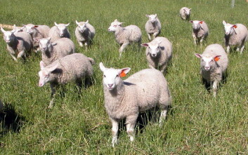 I løpet av noen uker i høst skal vel en million sau og lam slaktes her i landet.