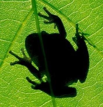 En tredel av verdens amfibiearter er på den internasjonale rødlista, og kan forsvinne i løpet av noen tiår. De er sårbare for mange slags forurensning og menneskelige inngrep, og er dermed gode indikatorer på at noe er galt. (Illustrasjonsfoto: Photos.com)