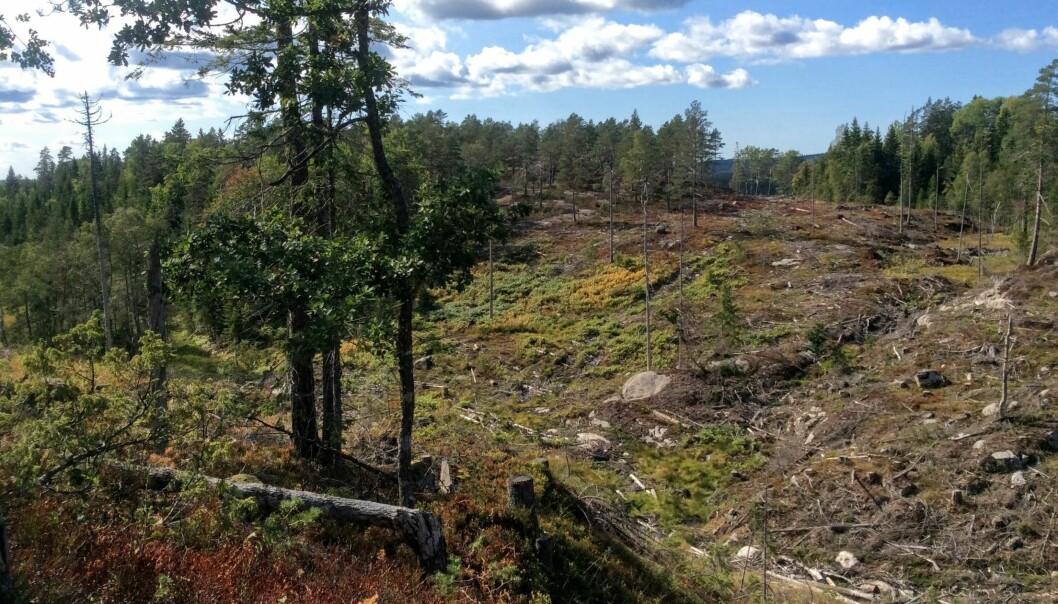 Den høyproduktive granskogen i dalen er hogget, mens den skrinnere skogen på åsen fikk stå. Bildet er nokså representativt for tilstanden i norsk skog der kun 5 prosent av den gamle skogen står på middels produktiv og høyproduktiv mark, der hogst er økonomisk mest lønnsom.