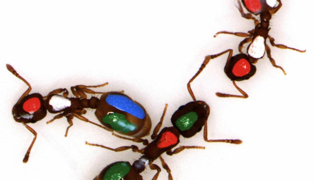 Fargekodede maur som ble brukt i forsøket på University of Arizona (Foto: Benjamin Blonder, Anna Dornhaus, University of Arizona)