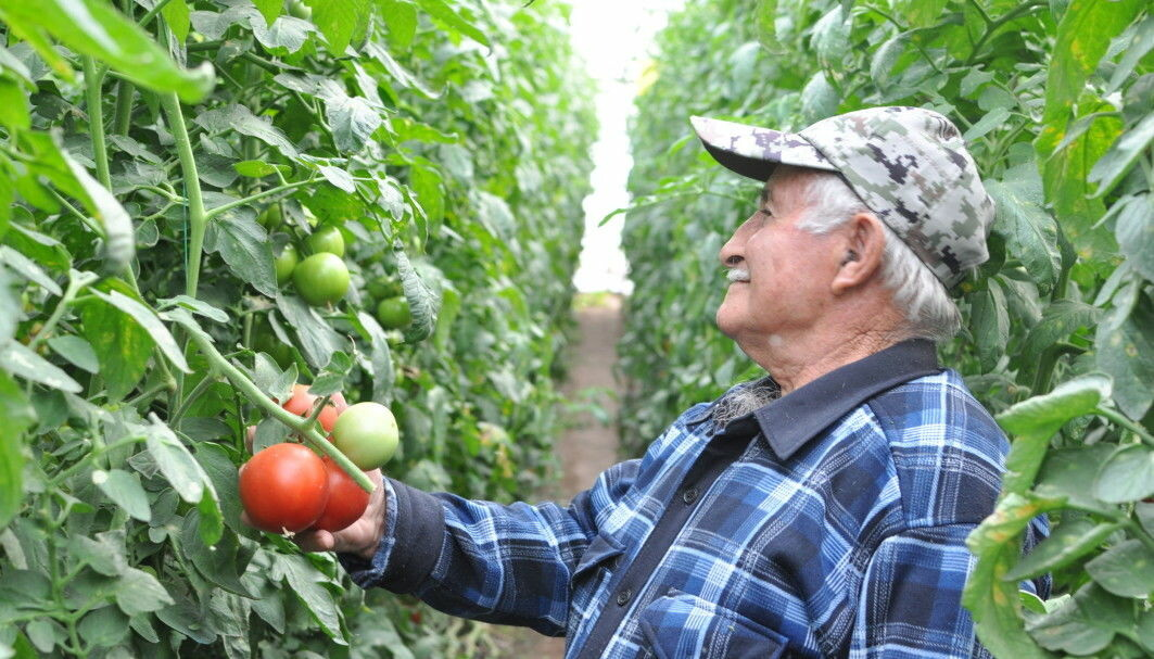 This Armenian farmer grows fine tomatoes. Still, he misses the traditional varieties.