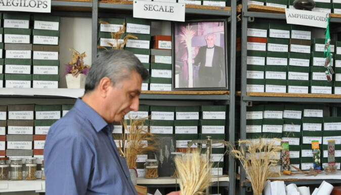 Andreas Melikyan, head of the gene bank at the Armenian National Agrarian University, with some of the country's many traditional wheat varieties.