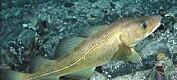 Når vannet blir varmere, svømmer torsken dypere