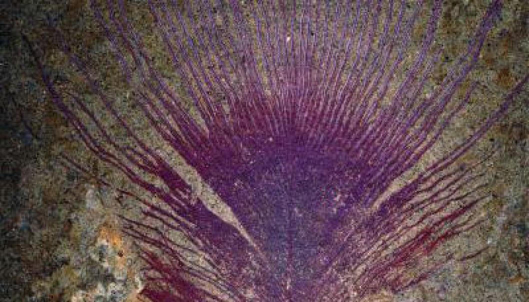 Forskere har oppdaget at ørsmå strukturer i denne 40 millioner år gamle fjæra lagde regnbuespill da skapningen levde. (Foto: Jakob Vinther/Yale University)