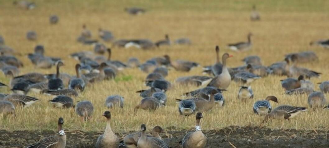 Effektiv jakt på gås når lokale jegere samarbeider