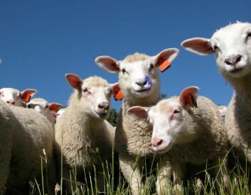 """Gjennom prosjektet """"Arktisk lammekjøtt"""" undersøkes sammenhengen mellom foring og kjøttkvalitet på lam."""