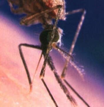 """""""Hodet på malariamygg. Følehornene med flimmerhår peker på skrå nedover mot høyre fra hodet."""""""