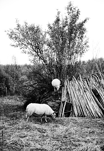 """""""Fotturisten i Norge drar nytte av at vi har et aktivt landbruk over hele landet, med stier gjennom kulturlandskapet, gjennom et åpent beitelandskap og ikke minst på setervollene. Mat og reiseliv henger tett sammen"""". (Sigrid Hjørnegård, Norges Bondelag/Nationen 7.6.2021). Dette er kloke ord, men landskapet kan ikke opprettholdes ved å stimulere til økt bruk av sesongens ferske råvarer."""
