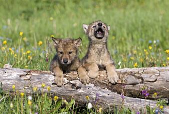 Blir ulven som en hund hvis den vokser opp blant mennesker?