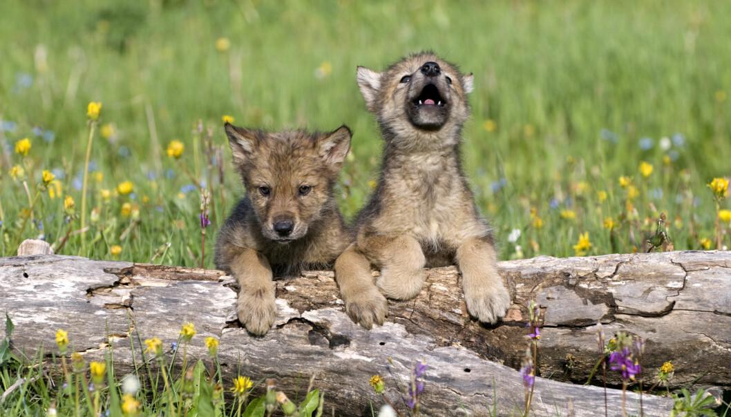Ulvunger ligner veldig på valper. Men kan de bli som hunder?