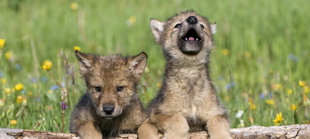 Blir ulven som en hund, hvis den vokser opp blant mennesker?