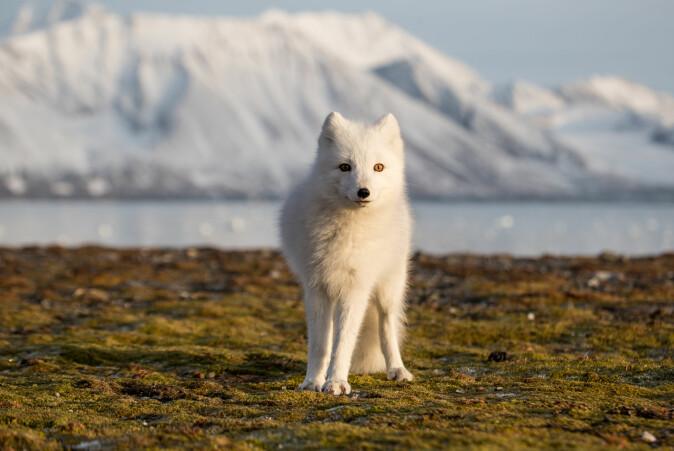 """Dvergbendelormen <span class="""" italic"""" data-lab-italic_desktop=""""italic"""">Echinococcus multilocularis</span> kommer ikke minst fra rev. Den er ikke kjent på det norske fastlandet, men har spredt seg til Svalbard med østmarkmus som kom dit som blindpassasjerer."""