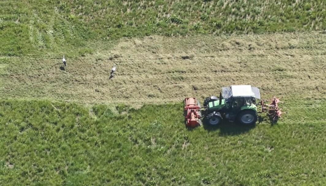 Ikke lenge etter at bonden begynner å slå gresset, så kommer de første storkene. Hvordan visste de hvor de skulle dra?