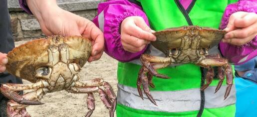 Derfor skal du ikke rive beina av en krabbe