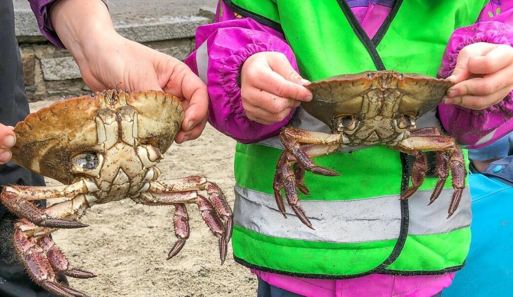 Dersom krabbene havner i en situasjon hvor de sitter helt fast, har de mulighet til å kaste sine egne bein og klør.