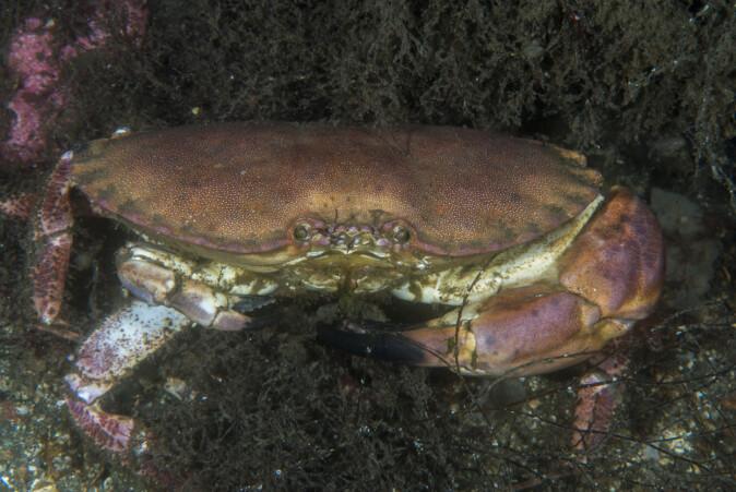 Krabber som mister klør og bein naturlig, gjør dette som en siste løsning, som en naturlig forsvarsreaksjon.