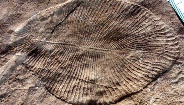 Et eksempel på en av de første dyrene fra perioden som kalles ediacara.