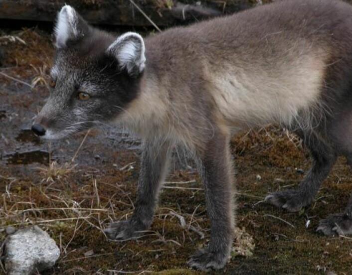 """""""Fjellrevpopulasjonen i Norge teller 100 individer og er synkende."""""""