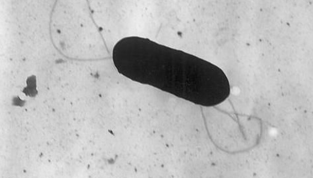 Listeria monocytogenes-bakterie. (Foto: Wikimedia Commons)