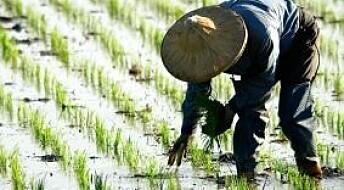 Kvikksølv i rismarken