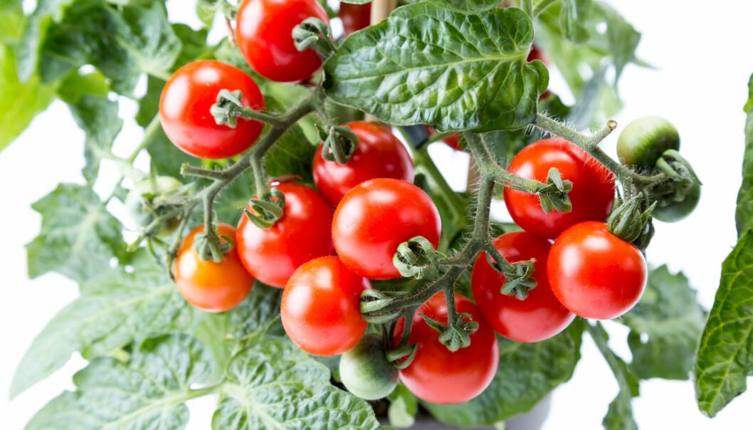 Tomater kan merke at de blir angrepet av larver, og sladrer til resten av planten.