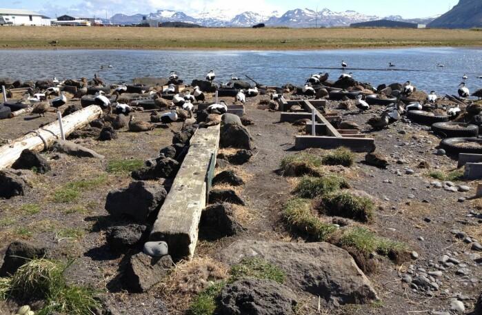 Fuglevokter Smári Lúðvíksson fanger og merker ærfuglene i kolonien sin på Ríf, Island.