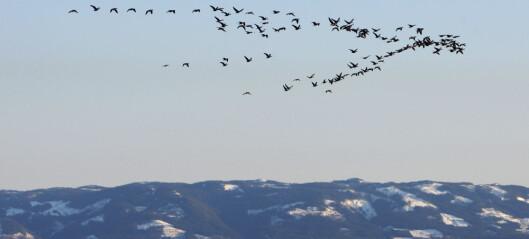 Fugler har kvantemekanikk i øynene – lysfølsomme proteiner blir magnetiske