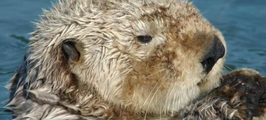 Mystisk evne holder oteren varm i den kalde sjøen
